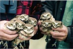 can't trace to the source, but presumably these little guys were banded and this is pre-release.  burrowing owls - my day will come... (Owl bouquets): Babies, Animals, Babyowls, Pet, Baby Owls, Things, Birds, Hoot