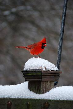 cardinal in snow, love seeing them outside my window! They are so beautiful, just like all God's creation!: Winter, Redbird, Cardinal Birds, Beautiful Birds, Red Birds, Cardinals, Animal