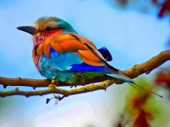 Colorful bird: Roller, Animals, Nature, Beautiful Birds, Photo