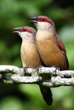 Crimson-rumped waxbill is a species of estrildid finch found in northeastern Africa: Estrildid Finch, Crimson Rumped Waxbill, Couple, Beautiful Birds, Northeastern Africa, Photo, Birds Waxbills, Africa Birds