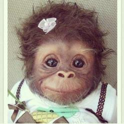 CUTEst Baby monkey all dressed up! #cute: Babies, Face, Animals, Pet, Funny, Baby Monkeys, Adorable, Box, Things