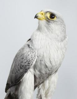 "* * FALCON: ""Ders noes such thing as too many falcons. Don'ts falconize me."": Leilajeffreys, Animals, Grey Falcon, Australian Birds, Beautiful, Falcons, Photo"