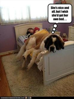 Funny Pictures Of The Day – 83 Pics: Animals, Beds, St Bernard, Pets, Funny, Saint Bernard, Puppy, Big Dogs, Friend