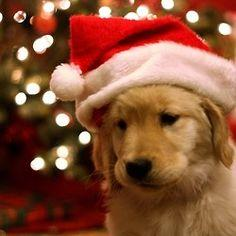 Golden puppy with Santa hat. @Heather Creswell Dearborn LOOK AT IT. We're gonna have one soon. :): Holiday, Animals, Dogs, Golden Retrievers, Christmas Puppy, Pet, Puppys, Christmas Dog, Merry Christmas
