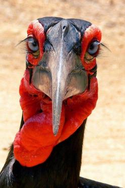 Ground Hornbill - Isn't he wonderful? Doesn't he remind you of something from a Jim Henson creation hehe.: Animals, Groundhornbill, Nature, Creature, Beautiful Birds, Photo
