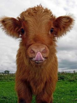 I will hang up this Cow Poster for doing oral motor exercises with my special needs preschoolers....adorable!   Penina Rybak MA/CCC-SLP, TSHH  CEO Socially Speaking LLC  website: sociallyspeakingLLC.com: Farm, Highland Cow, Animals, Pet, Fluffy Cow, Babyc
