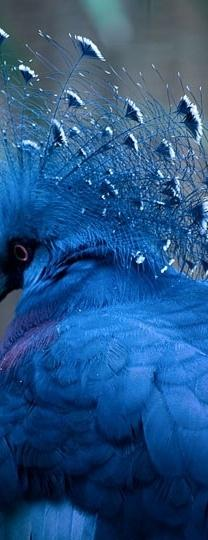 ... Je suis ivre d'avoir bu tout l'univers ... (Apollinaire): Beautiful Blue, Color, Beautiful Birds, Animal