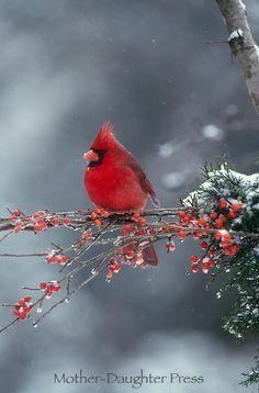Male northern cardinal bird in winter snow storm on branch of red berries: Winter Snow, Red Berries, Cardinal Birds, Male Northern, Cardinals