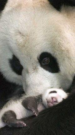 Mama and baby... Love to see how all mama's babies interact with affection, comes naturally.: Baby Pandas, Panda Mom, Mama Baby, Mom Panda, Baby Panda Bears, Panda Babies, Baby Animals, Giant Pandas