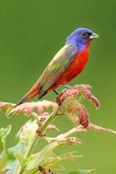 Painted-Bunting (Passerina ciris). A species of bird in the Cardinal family native to North America. The male is often described as the most beautiful bird in North America.: Colorful Birds, Colourful Birds, Birds Buntings, Beguiling Birds, Backyard Birds