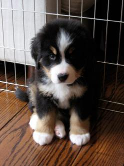 #puppy #cute #dog #nice #pet #animal #happy #beautiful #putdownyourphone: Animals, Cute Puppies, Bernese Mountain Dogs, Pets, Puppys