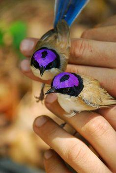 Purple crowned fairy wrens <3