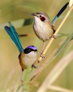 Purple-crowned Fairywren is endemic to northern Australia: Northern Australia, Fairy Wrens, Animals, Purple Crowned Fairywrens, Fairies, Nature, Fairywrens Malurus, Beautiful Birds