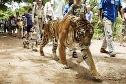 Sad: A tiger and its two tiny cubs walk among the tourists at a Buddhist forest monastery and animal sanctuary in Kanchanaburi province in Thailand, now better known as Tiger Temple: Animals, Tiger Trail, The Tourist, Daddy Tiger, Cubs, Tourist Tiger, Tig