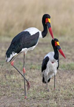 Saddle-billed Stork (Ephippiorhynchus senegalensis) is a large wading bird in the stork family, Ciconiidae. It is a widespread species which is a resident breeder in sub-Saharan Africa from Sudan, Ethiopia and Kenya south to South Africa, and in The Gambi