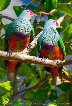 The Mariana Fruit Dove ~ also known locally as Mwee'mwe in the Carolinian language, Totot on Guam or Paluman Totut in Northern Mariana Islands...Now that is one beautiful bird!!!!!: Animals, Pigeons Doves, Fruit Doves, Beautiful Birds, Mariana Fruit