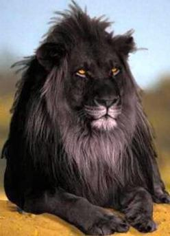 The opposite of albinism called melanism, a recessive trait where the skin and fur are all black. This is perhaps the most beautiful lion I have ever seen.: Black Lion, Big Cats, All Black, Recessive Trait, Called Melanism, Beautiful Lion, Albinism Called