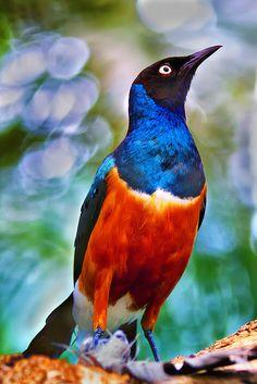 violet-backed starling.: Purple Bird, Color, Birdie, Purple Passion, Beautiful Birds, Animal, Violet Backed Starling