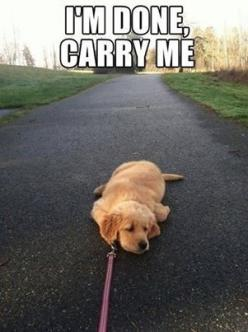 Well, dogs do get tired too...: Animals, Puppies, Dogs, Pet, Puppys, Funny Animal, Walk, Golden Retriever
