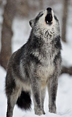 Wolves by dfbphotos, via Flickr. (Speedwell, Pennsylvania): Wild, Animals, Wolf, Wolves, Lone Wolf, Wolf, Wolf Howling, Howling Wolf