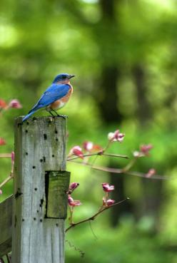 """Eastern Bluebird"" by Christina Rollo www.rollosphotos.com. The Eastern Bluebird  (Sialia sialis) loves to perch on tree branches and wires observing insect prey. An eastern bluebird will swoop down and catch a flying insect or go down to the grou"