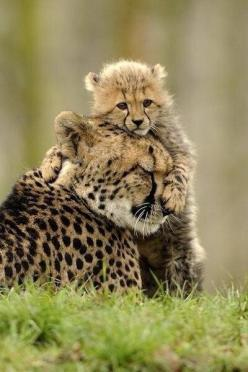 A cheetah mother and her cub: Cheetahs, Big Cats, Animals, Mother, Bigcats, Wild Cats, Mom