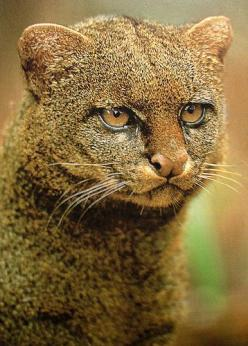 A jaguarundi is a Texas, Central and South American animal that has become endangered. They have a terrifying scream.: Wildcats, Animals, Big Cats, South America, Texas Animal, Terrifying Scream, Wild Cats, Mountain Lion