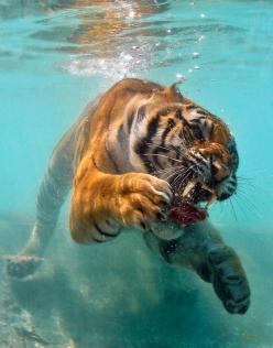 Amazing shot-- Some of these are incredibly skillful and well-planned; others are just one-in-a-million shots. But they all have a right-place-at-the-right-time thing going for them.: Wild, Big Cats, Animals, Nature, Underwater, Beautiful, Bigcats, Tigers