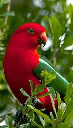 Australian King Parrot • Australian Birdlife Photo Library: Animals, Poultry, Color, Birds Parrots, Beautiful Birds
