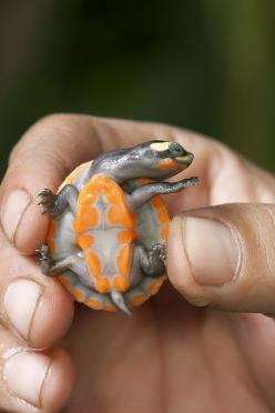 aw; more babies of rare animals - I wonder if we can save some of these species this way??   Red-bellied short-necked turtle: Short Necked Turtle, Animals, Nature, Creatures, Baby Animal, Red Bellied Short Necked, Baby Turtles