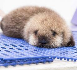 Baby Otter <3 <3 <3 how cute is this little baby girl!!!: Babies, Baby Otters, Baby Sea Otters, Shedd Aquarium, Orphaned Baby, Baby Animals