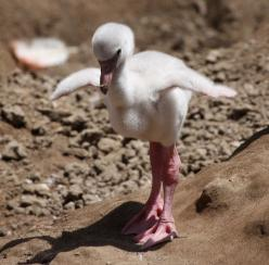 Baby Steps baby flamingo: Babies, Pink Flamingos, Baby Steps, Baby Animals, Birds, Baby Flamingos, Photo