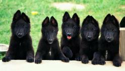 Beautiful German Shepherds!: Belgian Shepherd, Pet, Black German, German Shepherds, Shepherd Dogs, German Shepard, Gsd, Animal
