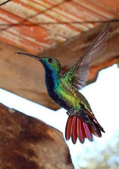 Beija-flor-de-veste-preta  by Marcelo Cazani.  Another incredible photo of this hummingbird, by Marcelo Cazani, capturing all of the prismatic colors beautifully!