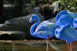 Blue Flamingo actually exist! The first spotting was on January 23rd, 2012 in the Galapagos Islands! This is craziness!: Blue Flamingoes, Blue Flamingo I, Animals, Blue Flamingo The, Birds, Blue Flamingos
