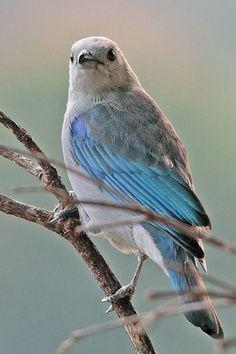 Blue-gray Tanager (Thraupis episcopus) found from Mexico south to Bolivia and Brazil, Amazon Basin: Animals, Animal Kingdom, Beautiful Thraupidae Tanagers, Azuleja Viudita, Beautiful Birds, Birds 8 4, ̊Blue Gray Tanager, Amazing Birds, Photo