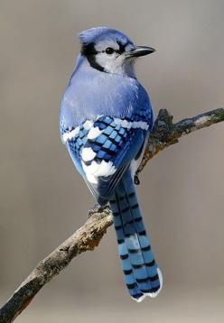 "Blue Jay - A flock of Blue Jays is called a ""party"" and I can say they party at my house all day long! currently they are pecking the paint off of the house to recover the calcium.: Animals, Beautiful Blue, Blue Jays, Beautiful Birds, Ave"