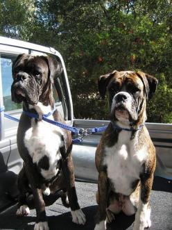 Boxers, Ted and Bunnie--: Boxers Boxers, Boxer Dogs, Boxers Gotta, Boxers Love, Beautiful Boxers, Boxers Beautiful, Boxers Baby Dogs, Animal