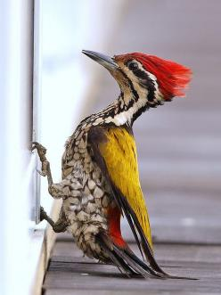 Common Flameback: Commonflameback, Poultry, Flameback Woodpecker, Birdie, Reflection Photo, Beautiful Birds, Animal