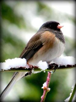 Dark-eyed Junco Bird in snow near Seattle Washington 2/23/2011; there are 15 subspecies this is the Oregon, on the Canadian Prairie and in the east we get the Slate Colored. They are commonly known as Snowbirds.: Junco Bird, Washington 2 23 2011, Dark Eye