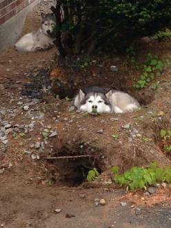 Digging for a reason ~ THEY LIKE TO MAKE A DEN ~: Pool, Puppy, Husky S, Malamute, Hole, Animal