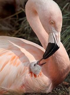 Edge Of The Plank: Cute Animals: Baby Flamingoes: Babies, Animals, Mothers, Pink Flamingos, Nature, Beautiful Birds, Photo