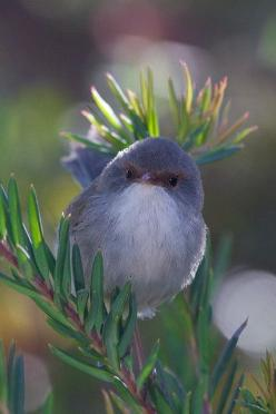 Fairy Wren. Usually birds scare the crap out of me but this bird is so tiny. The coloring is beautiful.: Animals, Fairies, Superb Fairy, Birdie, Beautiful Birds, Fairy Wren