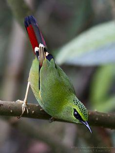 Fire-tailed Myzornis - Bhutan, China, India, Myanmar & Nepal / bird watching