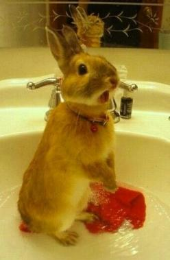 For anyone interested in seeing a startled rabbit in a sink...here's a startled rabbit in a sink. - Imgur: Animals, Bunny Bath, Happy Easter Rabbit, Startled Bunny, Naked, Sinks, Startled Rabbit, Bath Time