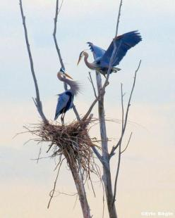 Herons and nest high in a tree. You can see heron rookeries near the Bothell Park and Ride.: Nesting Herons, Birds Nests, Blue Heron, Animals Birds Aquatic, Bird Nests, Herons Birdsofprey, Herons Nesting