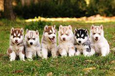 Husky puppies!! I want one!