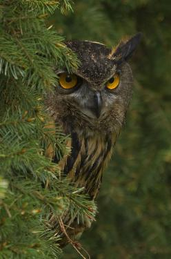I am keeping an eye an you. I know your up to something. Another Pin thief no doubt.: Animals, Birds Owls, Owl Photo, Great Horned Owl, Eye