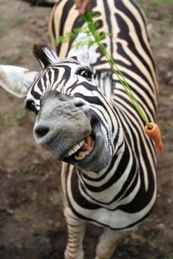 I love, love, love when the lens captures the joyful spirit in an animal. And there's one in every crowd :): Happy Animals, Creature, Funny, Carrots, Smile, Photo, Zebras