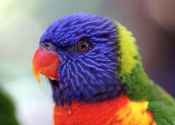 I miss seeing gorgeous Rainbow Lorikeets landing on the fence for some seeds (only in Australia....you know some people never see such things #blessed): Wild Animal, Birds Butterflies Animals, Bird Colorful Birds, Baby Animals, Colorful Rainbows, Beautifu